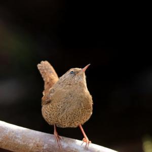 日本最小の野鳥・・ミソサザイ