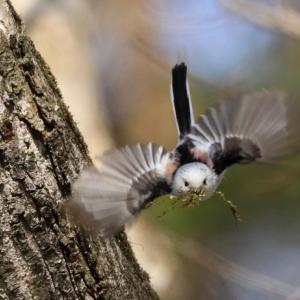 シマエナガの巣材運び