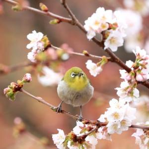 北の桜と野鳥‥今年は?