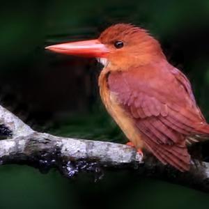 火の鳥アカショウビン!