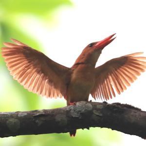 火の鳥・・アカショウビン