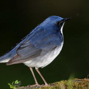 青い鳥・・コルリ