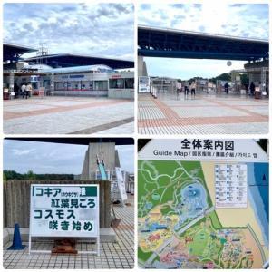 ひたち海浜公園 コキアとコスモス