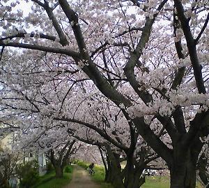 男里川の桜