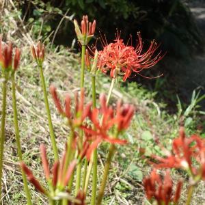 赤い花なら曼殊沙華
