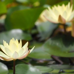 鶴見緑地公園の蓮と睡蓮