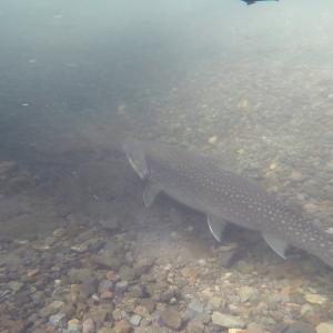 アメマスとニジマスの水中動画撮影で見えてくる謎の生態!