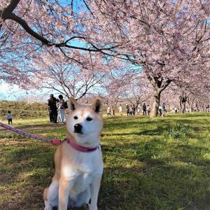 2020年 安行寒桜(桜まつり)