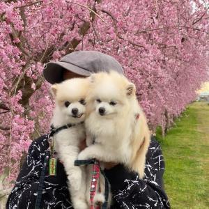 病院★美しい!枝垂れ桜発見しました。