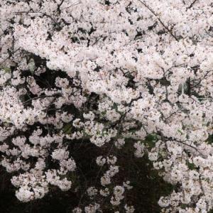 桜 weeks