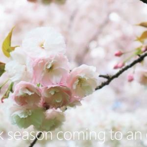 桜 weeks(華やかな終幕)