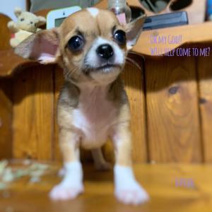 分譲子犬の再撮影