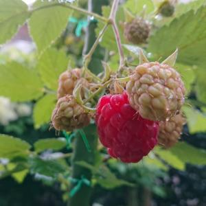初もの 🙌  ラズベリー収穫