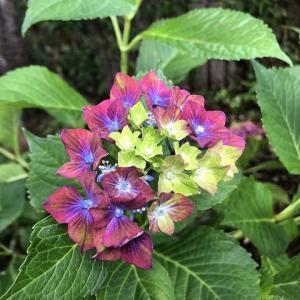 ベランダ菜園・紫陽花の花