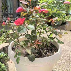 薔薇の鉢をいただきました。