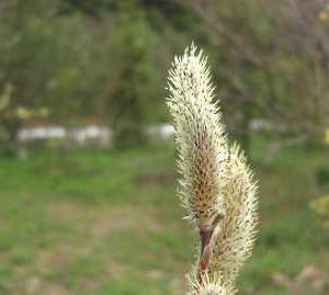 山桜真実一路の花の色