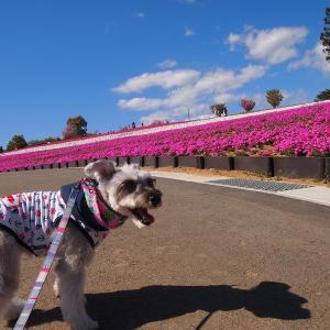 4月のクララ 芝桜を見に行く