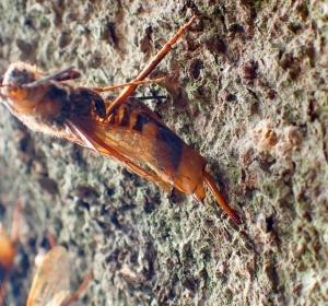 木の幹に産卵管を刺したまま命尽きる「ヒラアシキバチ」のメス