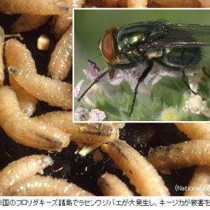 肉食バエ(ラセンウジバエ)を10億匹放して根絶、「不妊虫放飼」とは何か?