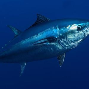 マグロが将来、食べられなくなる?太平洋クロマグロ「準絶滅危惧」に !