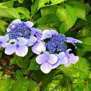 梅雨明け直前に咲く、綺麗な癒しの花を