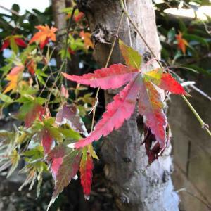 庭の紅葉。ジュエリー職人だった父との思い出