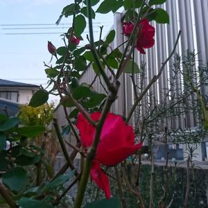 薔薇も咲いてるよ