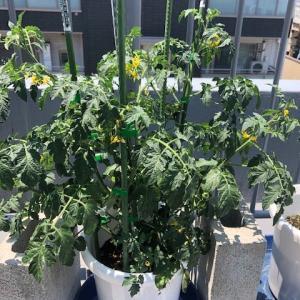 家庭菜園、ミニトマトにも実がなってきました。