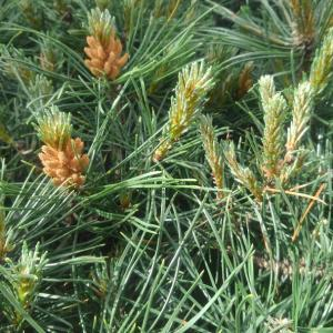 北国のモンタナ松の芽摘み
