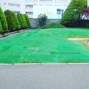 芝生の養生 その後