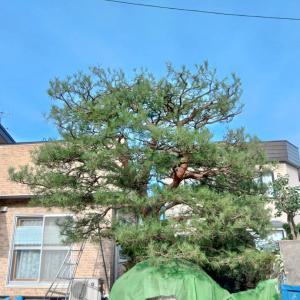 3年放置された赤松の剪定