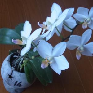 開花が続くミニ胡蝶蘭「なごり雪」!