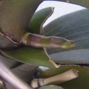 花芽の成長が始まった斑入り葉のミニ胡蝶蘭!