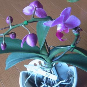 開花が始まった紅白の胡蝶蘭2株!