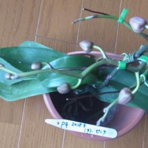 花芽の成長が進むミディー胡蝶蘭2株!