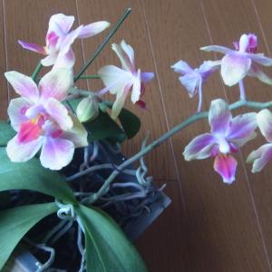 植え込み材料なしのミニ胡蝶蘭3種!