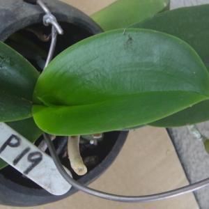 植え込み材料なしの中・大輪系の胡蝶蘭!
