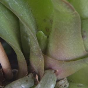 花芽が頭を出したミニ胡蝶蘭「なごり雪」!