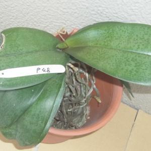 成長が進む斑入り葉の胡蝶蘭2株!