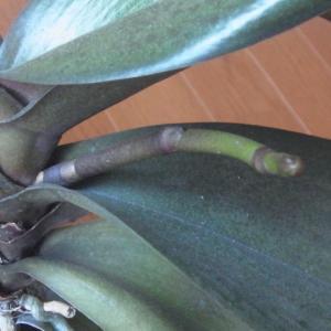成長が進む斑入り葉のミニ胡蝶蘭の花芽!