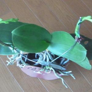 我が家の12月の胡蝶蘭達(その2)