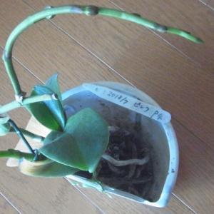 成長が進むピンクの胡蝶蘭の花芽!