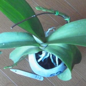 花芽の成長が進む白花のミニ胡蝶蘭!