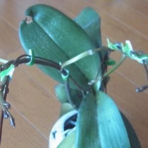 花芽の成長が進む斑入り葉のミニ胡蝶蘭!