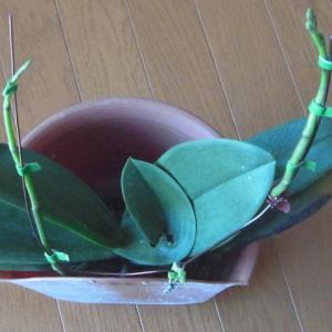 花芽の成長が進むミニ胡蝶蘭(その2)!