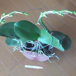 成長が進む胡蝶蘭「アマビリス」の花芽!