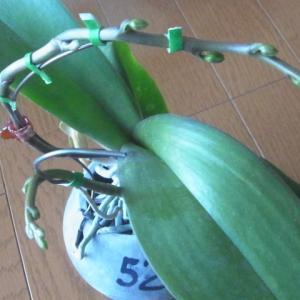 成長が進む白花のミニ胡蝶蘭の花芽!