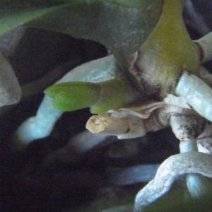 小さな花芽のミニ胡蝶蘭!