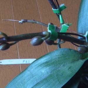 蕾の成長が進む斑入り葉のミニ胡蝶蘭!