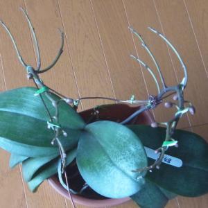 花芽の成長が進む斑入り葉の胡蝶蘭!
